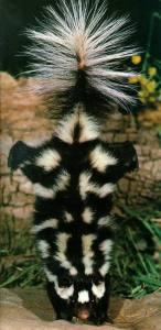 skunk handstand