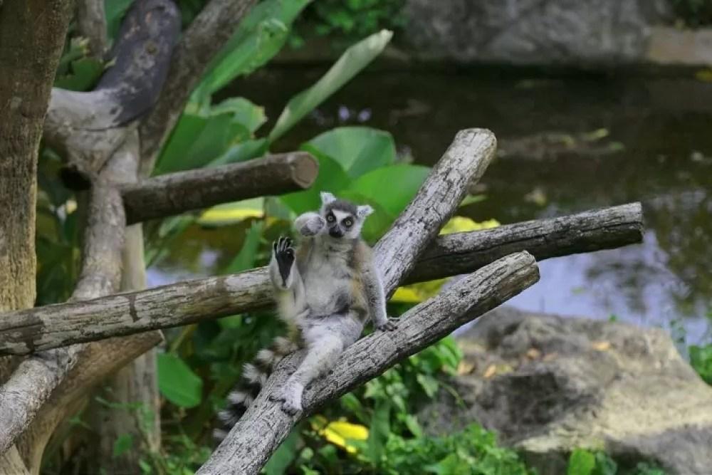 Monkey lemur in the zoo.
