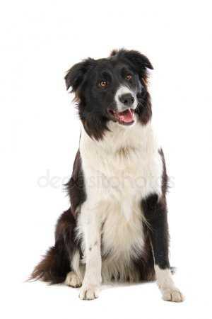 Собака колли картинки. Картинки собака породы бордер колли ...