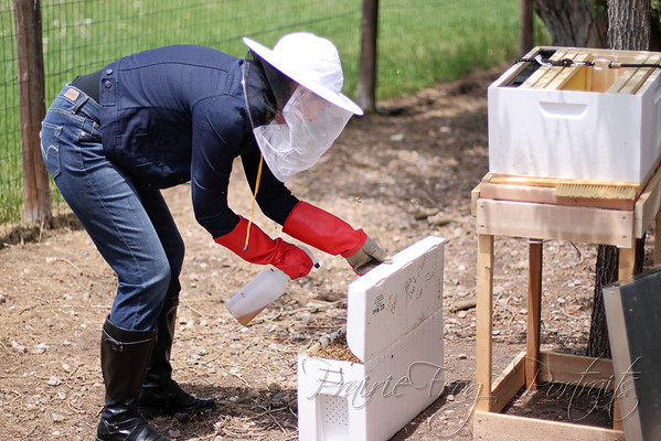 Spraying sugar solution on the bees, in hopes of calming them.