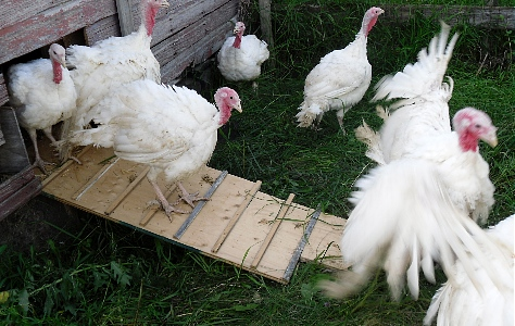 turkeys_out