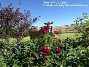 cow in garden