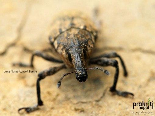 Long Nosed Weevil Beetle