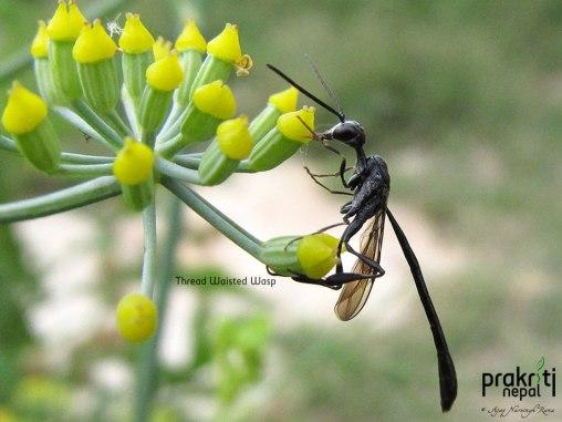 Thread Waisted Wasp