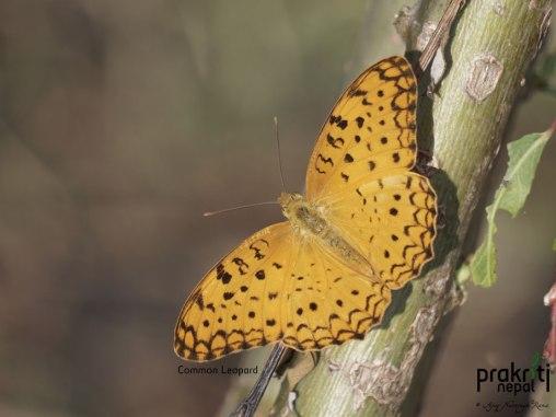 common leopard