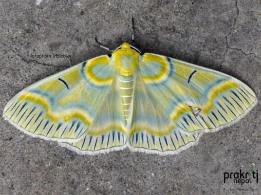 Iotaphora-iridicolor