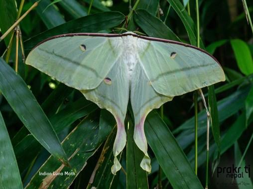 Indian-Luna-Moth
