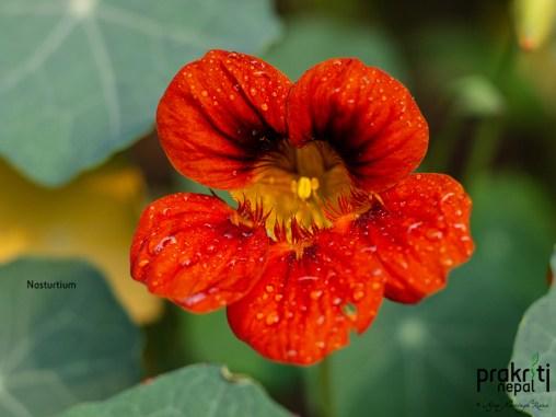 Nasturtium (Red)