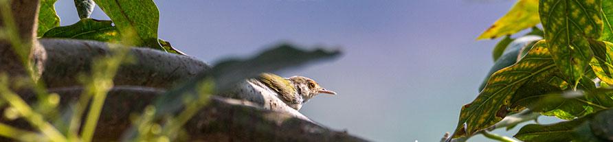 Tailor bird peeping