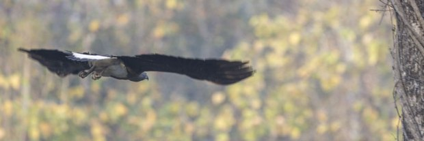 Grey-headed-fish-eagle-flying