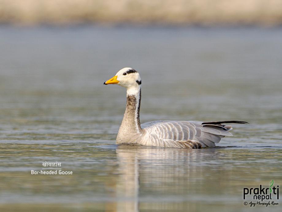 Bar-headed-Goose