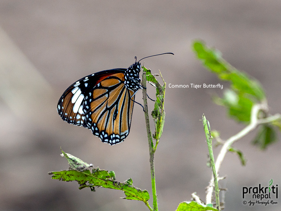 Common-Tiger-Butterfly