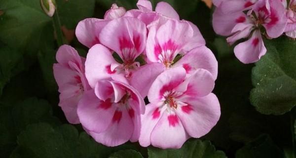 γερανι λουλουδι