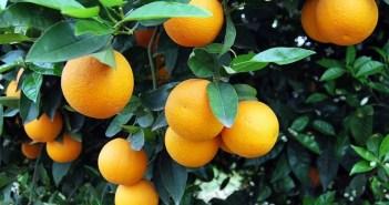 Η πορτοκαλιά και τα πορτοκάλια