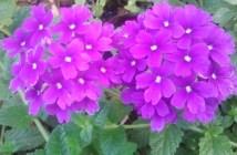 τεμάρι - λουλούδι - βέρβενα