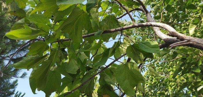 κατάλπη δέντρο