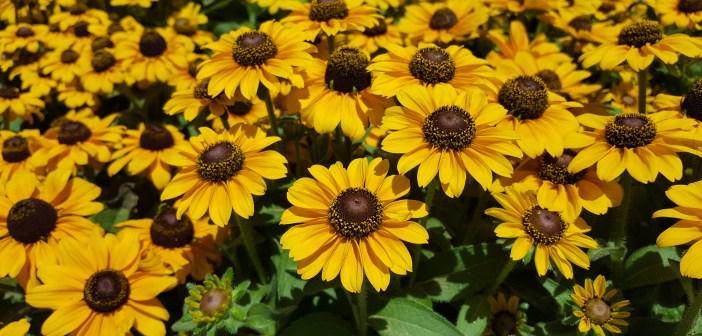 ρουντμπεκια καλοκαιρινο λουλουδι