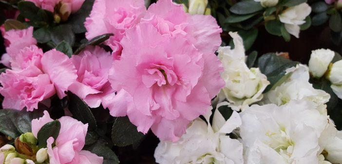 αζαλεα λουλουδι