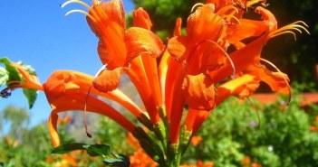 καπένσια φυτό