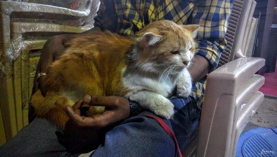 Big Cat at the Furniture Shop