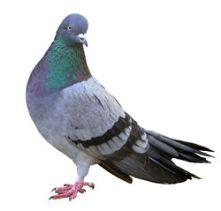 pigeon-wb
