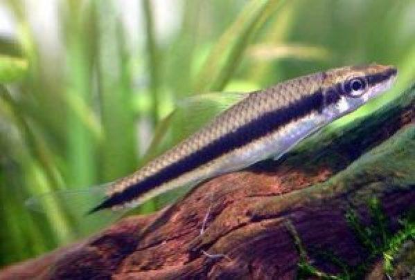 ikan hias air tawar aquarium, ikan hias air tawar yang bisa dicampur