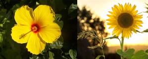 bunga monokotil dikotil, perbedaan Tumbuhan monokotil dan dikotil