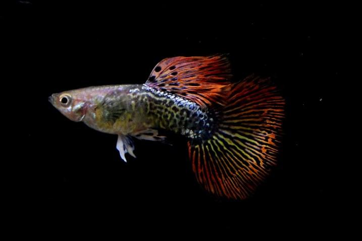 ikan guppy lokal