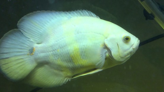 ikan oscar terbesar