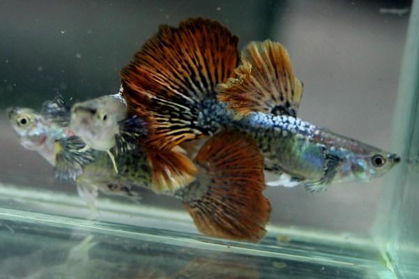 ikan guppy terindah