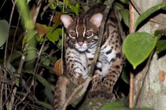 kucing hutan langka