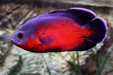 ikan oscar termahal termurah2019