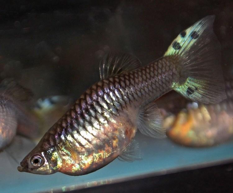 sword tail, ikan guppy termahal di dunia
