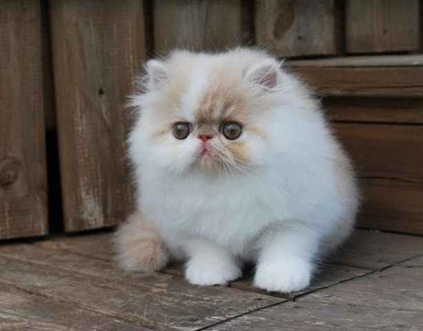 kucing persia peaknose