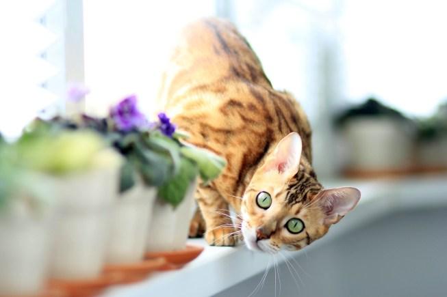 kucing bengal asli