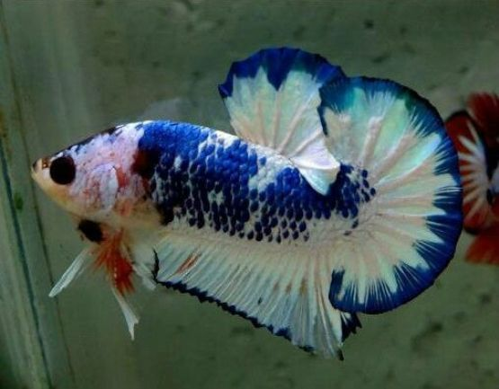 fancy fighting fish