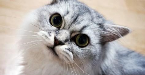 Jenis jenis kucing persia, persia himalaya