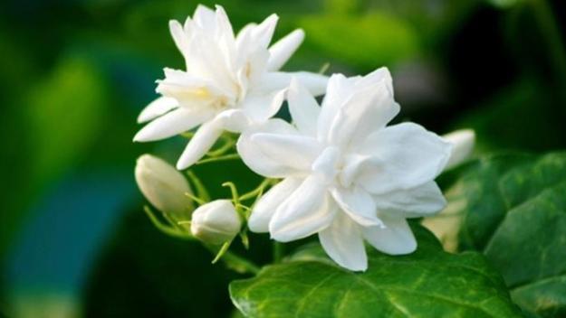 melati bunga puspa indonesia
