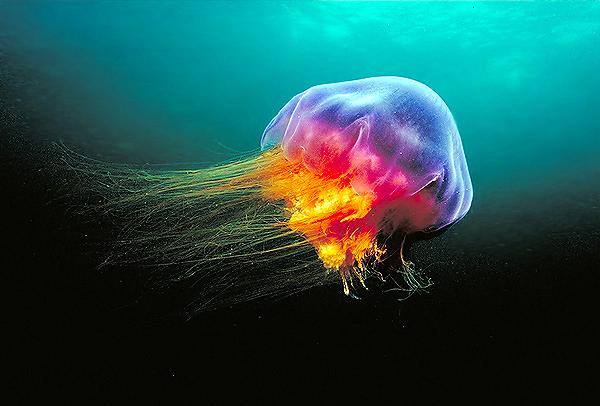 The lion's mane jellyfish (Cyanea capillata) (2/2)