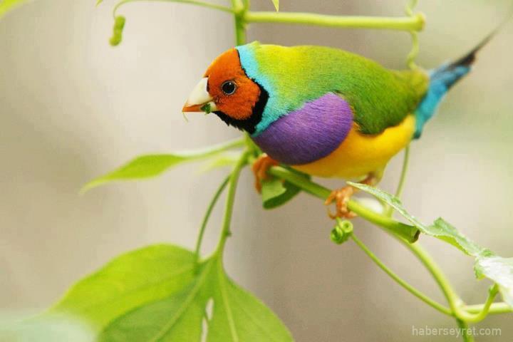 The Gouldian Finch (Chloebia gouldiae) (1/2)