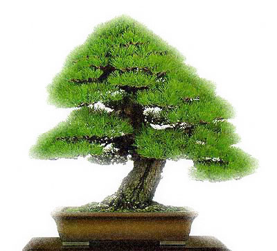 Bonsai Gallery (1/6)