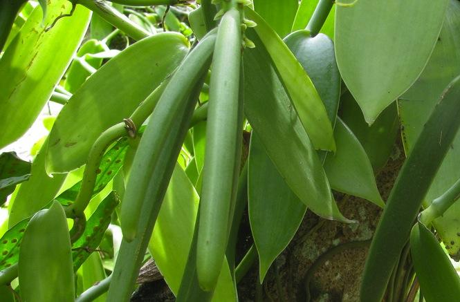 Fava de baunilha verde