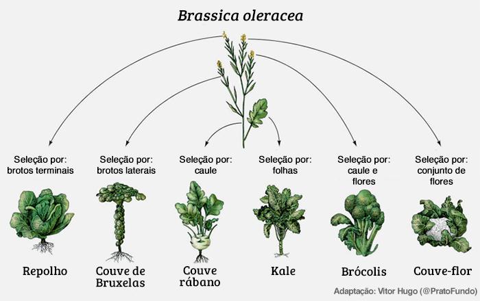 Transgênicos: Brassica sp.