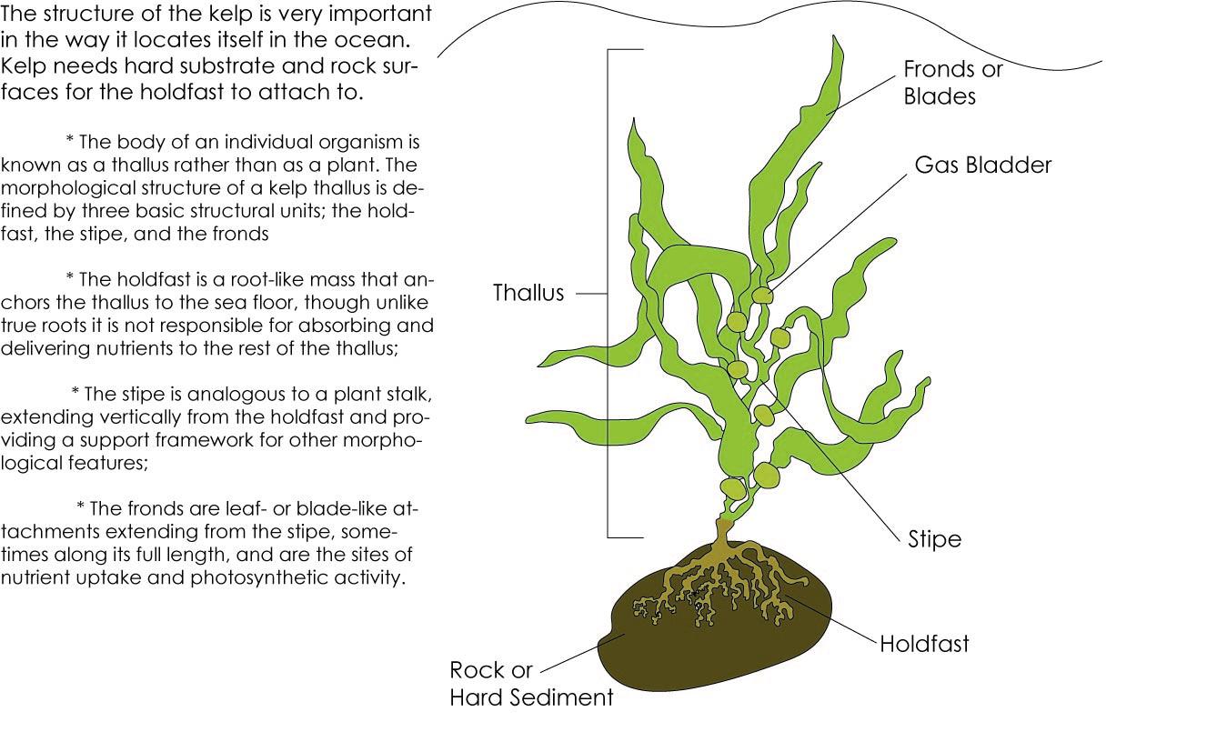 Oceananic Backbone Kelp Forests In California
