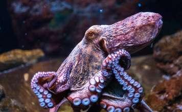 pulpo, octlantis, inteligencia pulpo, pulpo, tentáculos, datos curiosos pulpos, concha pulpo, probabilidades pulpo