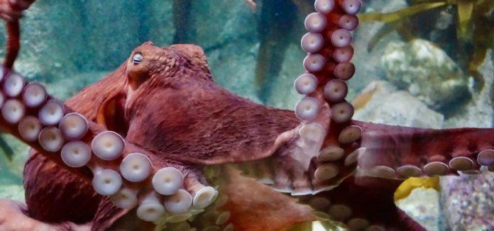 pulpo, octlantis, inteligencia pulpo, pulpo, tentáculos
