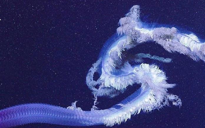 sifonóforo, sifonóforos, profundidades marinas, criatura, monstruos marinos, ballena azul, Australia, australianos, científicos