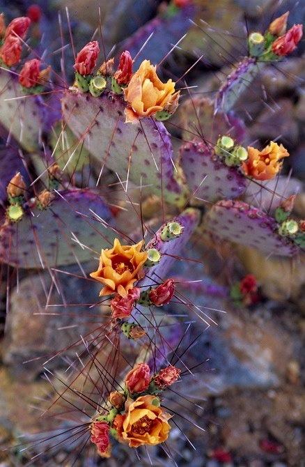 cactus real