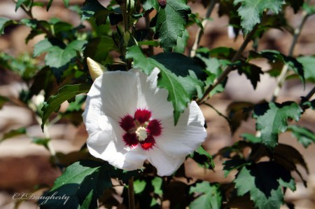 first bloom rose of sharon