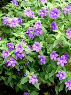 browallia.blue_.bells_